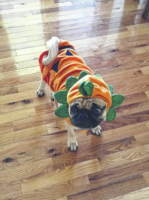 Alex Sewell   For the Record Meatballs the Pug will challenge county pets in a costume contest on Saturday. & Pet costume contest on Saturday   Anson Record
